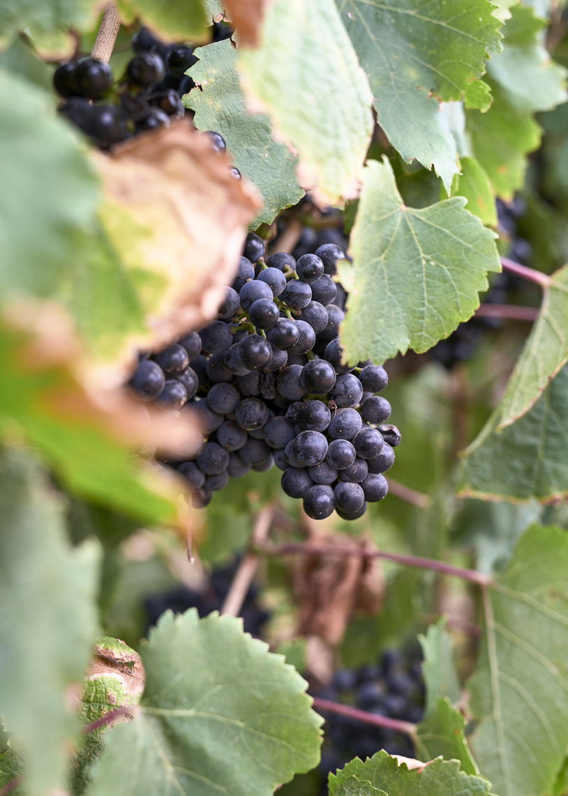 Babylonstoren-Red-Wine-Grapes