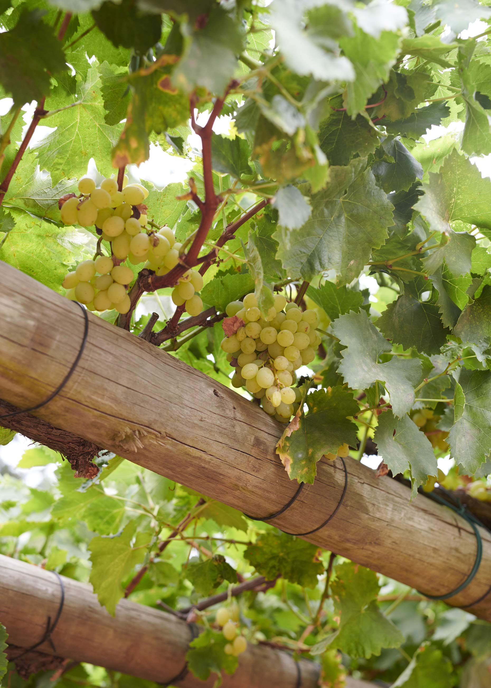 Babylonstoren-White-Wine-Grapes