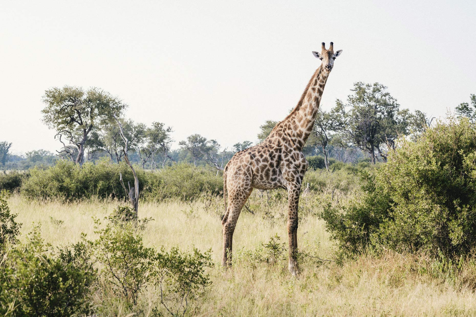 Large-giraffe-standing-tall-amongst-bushes