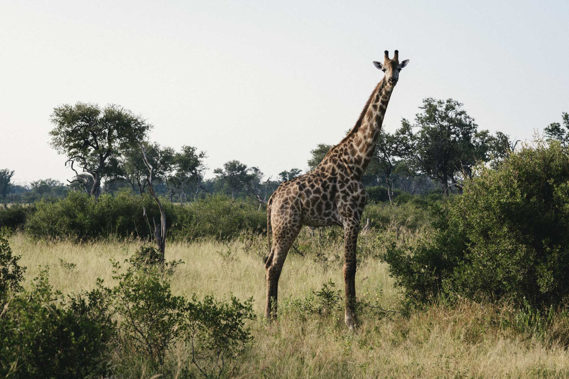 Large spotted giraffe standing tall amongst bushes