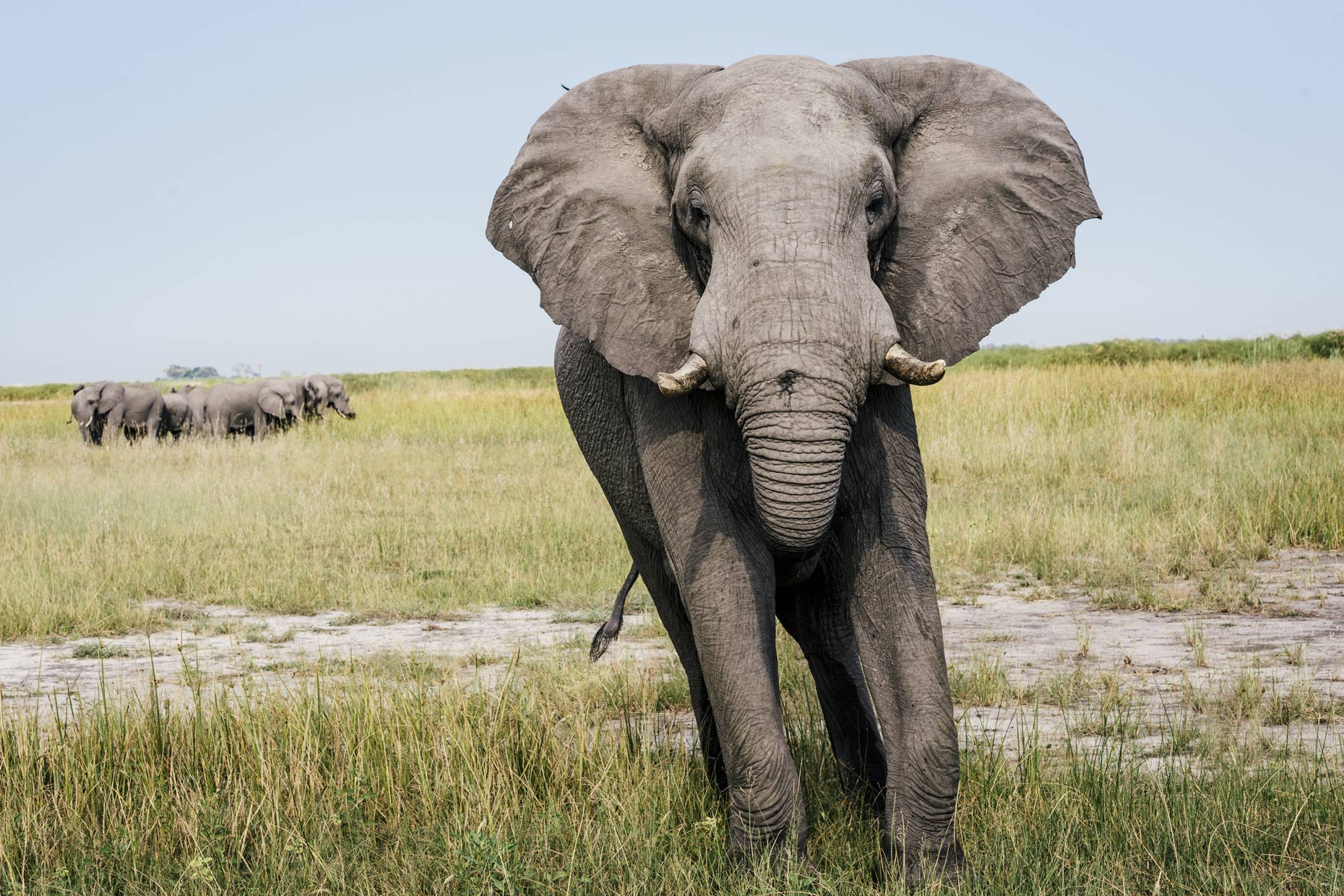 Large-tusked-elephant-walking-towards-camera