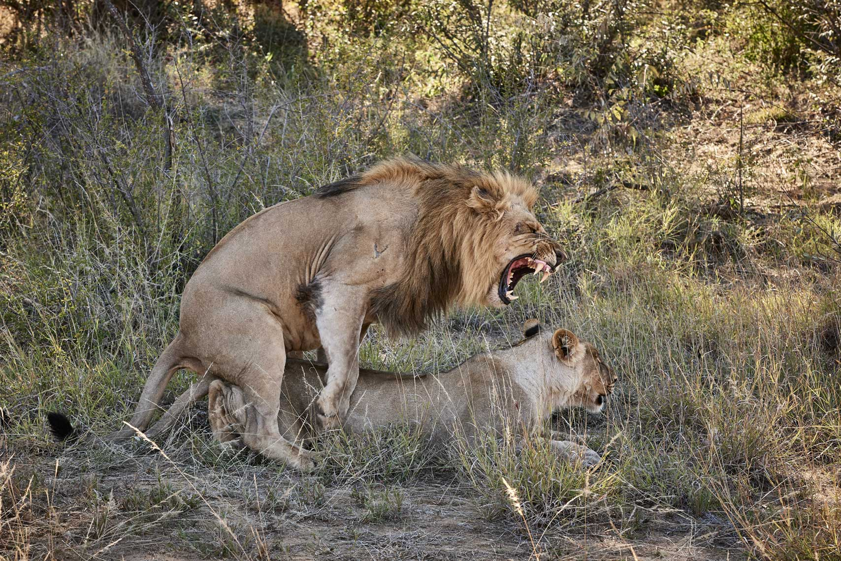 Two-lions-mating-in-Safari-male-roaring