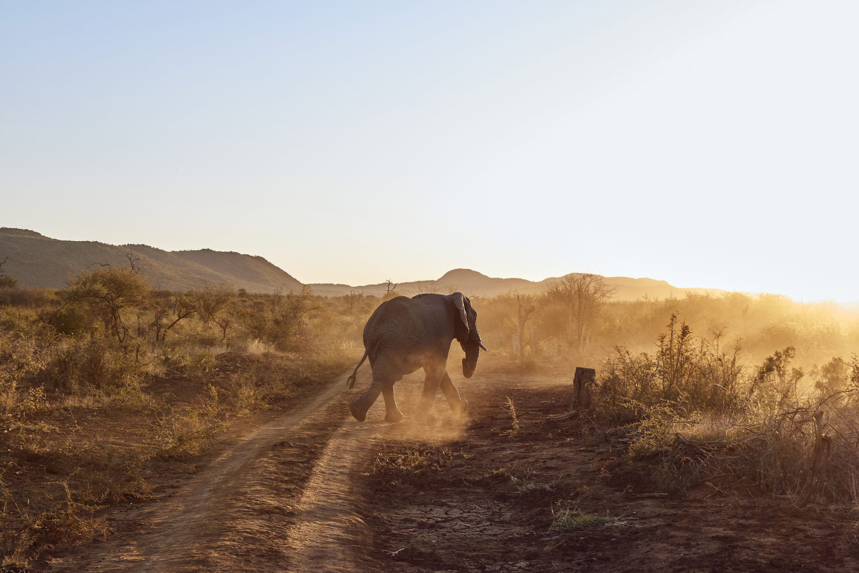 Wild-elephant-walking-away-at-sunset